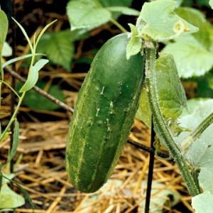 Выращивание огурцов разных сортов