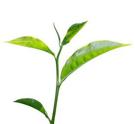 Стебель чайного куста