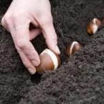 Посадка луковиц тюльпана
